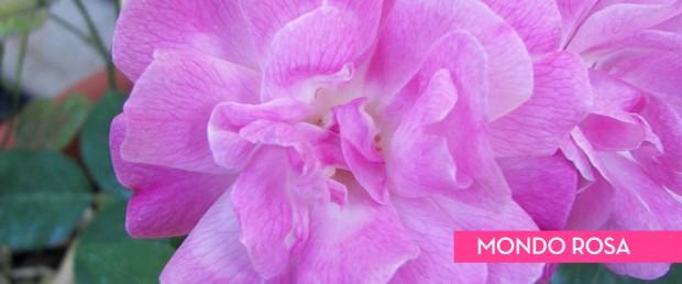 mondo-rosa